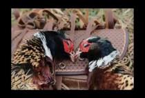 Канадские фазаны добытые на охоте