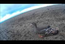 Добытые охотнками гуси на полее