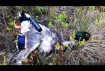 Добытая охотником утку