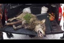 Добытый охотником волк