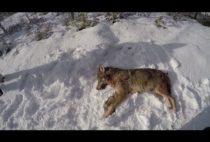 Добытый охотниками волк на снегу