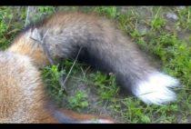 Добытая охотником лиса