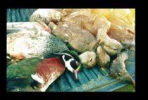 Добытые охотниками утки