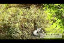 Добытый голубь на траве
