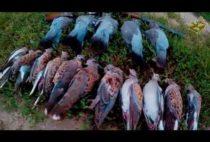 Добытые голуби