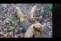 Собаки поймали кабана