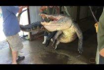Пойманный аллигатор