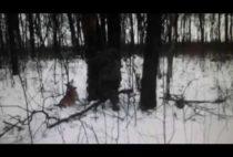 Охотник и лайки возле дупла