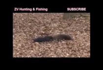 Добытые охотниками кабаны