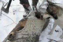Охотник добывает куницу из дупла