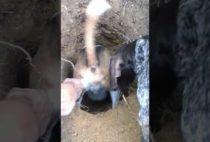 Собака тащит барсука