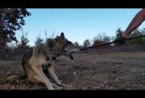 Охотник держит волка в петле