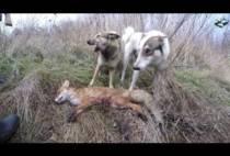 Собаки над добытой лисой