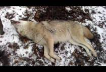 Волк в петле